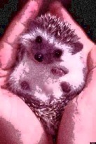 hedgehog in hands