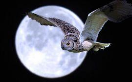 owl pinterest