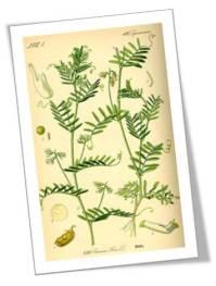 1885 Illustration of the lentil plant