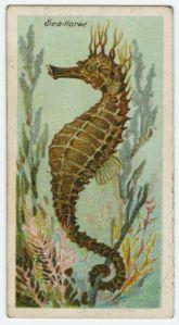 1903 Seahorse cigarette card