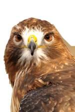 Frejya Red Tailed Hawk