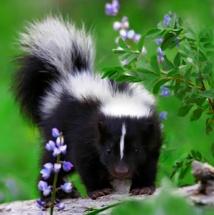 baby skunk 2