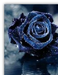 Blue rose, symbol of the impossible