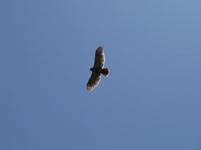 Red-tailed Hawk soar dreamstimefree_248058