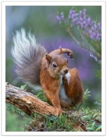 Squirrel scratching bbc