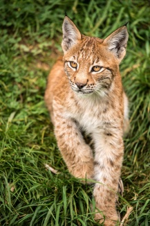 Lynx young dreamstime_m_26595511