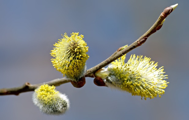willow_catkin_2_aka