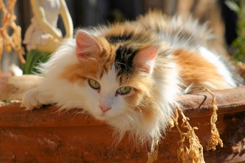 feline-calico_xs_3280429