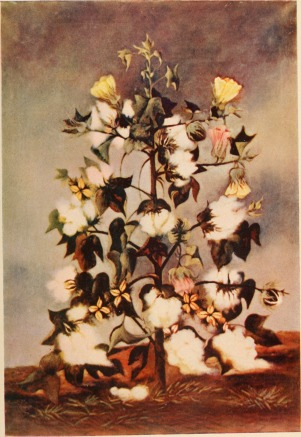 Cotton plant painting 1901
