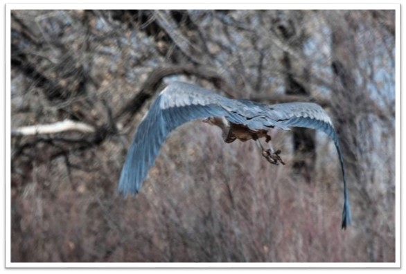 Blue heron Tim Price