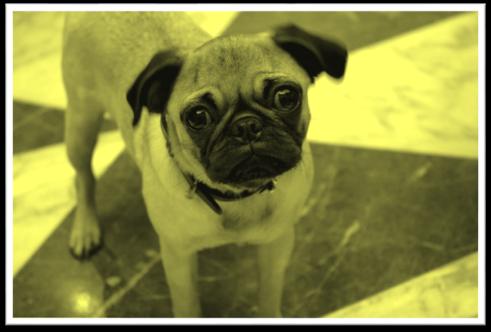 Pug Yello