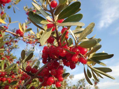 Buffaloberry bush