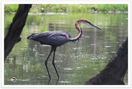 Goliath Heron at Kruger National Park South Africa