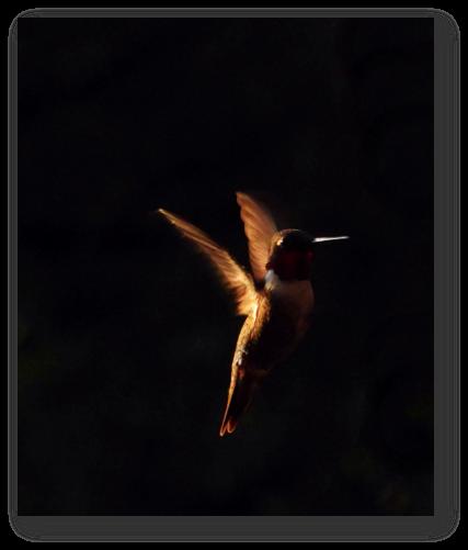 Hummingbird orange in dark Patti Black Unsplash