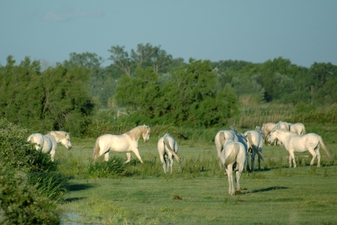 White Horses_in_camargue