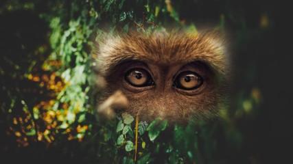 Ape Eyes 2