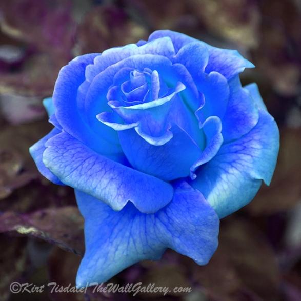 The Unfolding Of An Orange Rose Bud