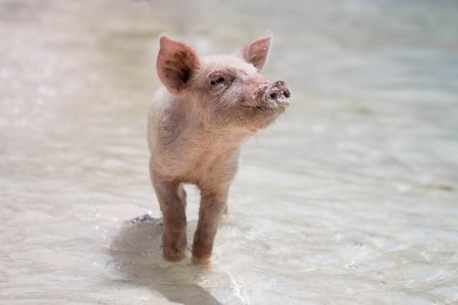 Pig in water forest-simon-1139462-unsplash