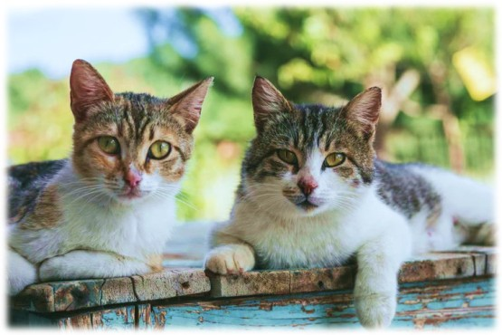 two brown tabby cats lay on wood planks