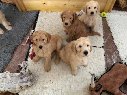 4 Labradoodle puppies