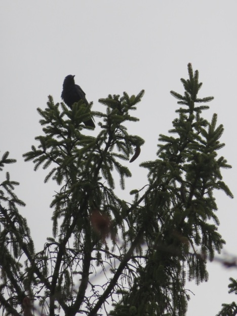 Crow on a high pine branch