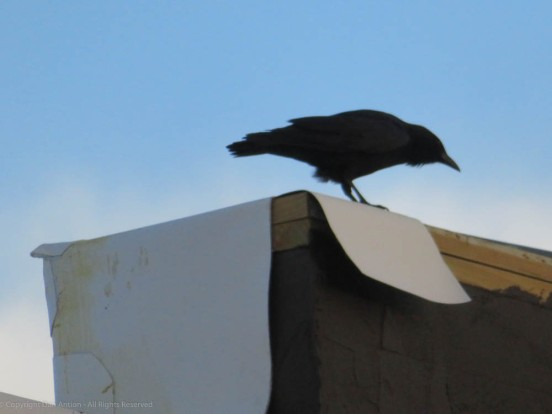 A crow perched on a roof, looking down