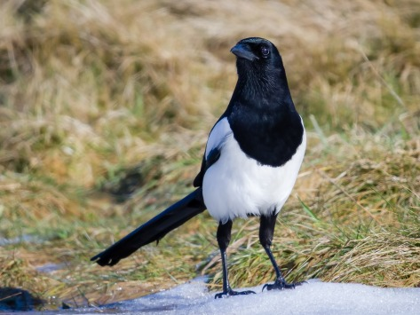Magpie on ground listening_PicturesofScotland Pixaby