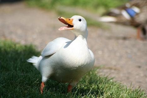 Peking Duck Hausente Wikipedia