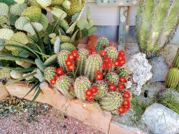 Small cacti blooming spring 2020