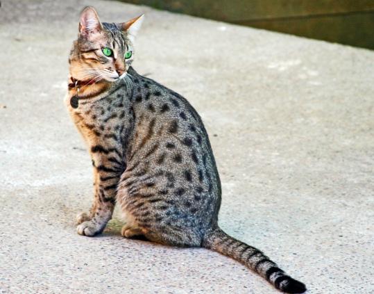 Egyptian Mau, Wikipedia (altered image)