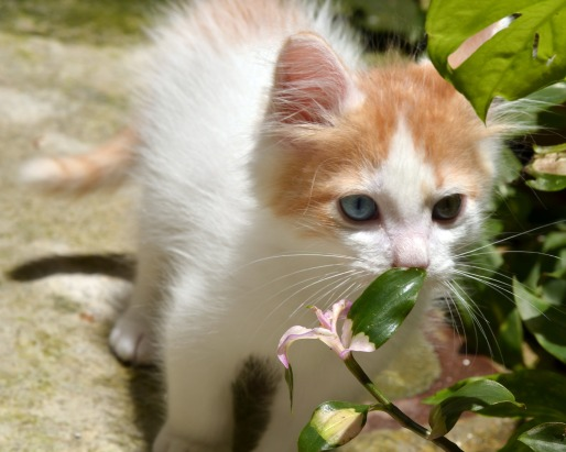 Turkish Van kitten by Argelia Aguilar at Pixabay