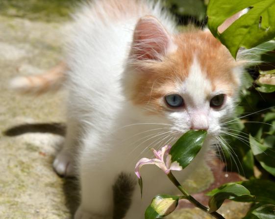 Turkish Van kitten by Argelia Aguilar at Pixabay