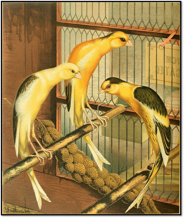 1878 Ludlow canaries caged birds Wikipedia