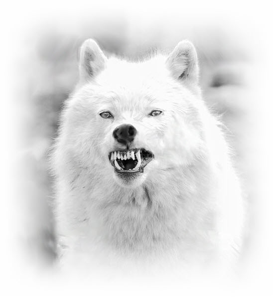 Whiet wolf snarl SOFT BW