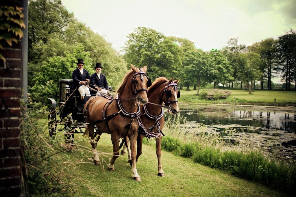 Horses pair tan pulling carriage dreamstime