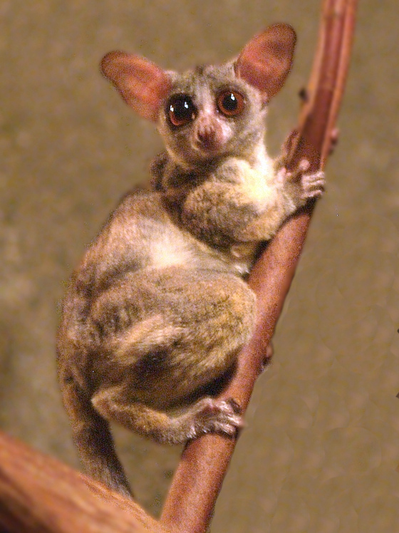 Lesser Bushbaby Wikipedia