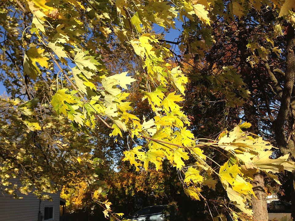 Silver Leaf Maple autumn yellow Wikipedia