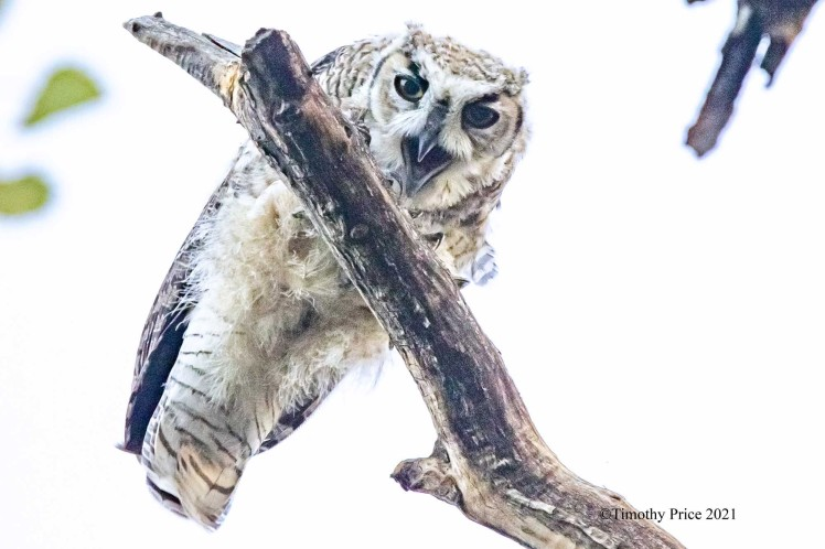 Young owl on tree Timothy Price 2021